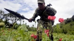 Un soldat mexicain coupe des fleurs de pavot sur  les collines du Petatlan, dans l'Etat du Guerrero, le 28 août 2013.