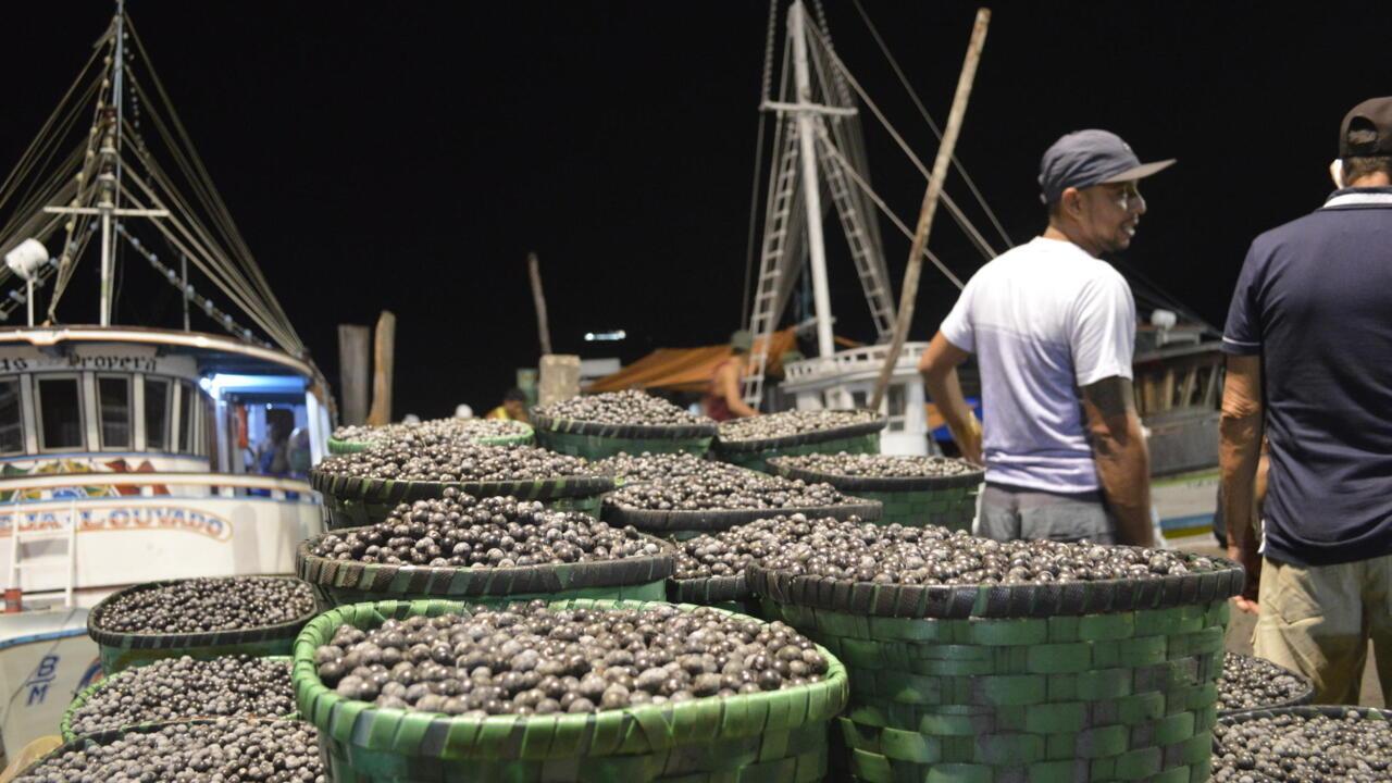 La récole de baies d'açai a été très faible cette année, alors que la demande augmente.