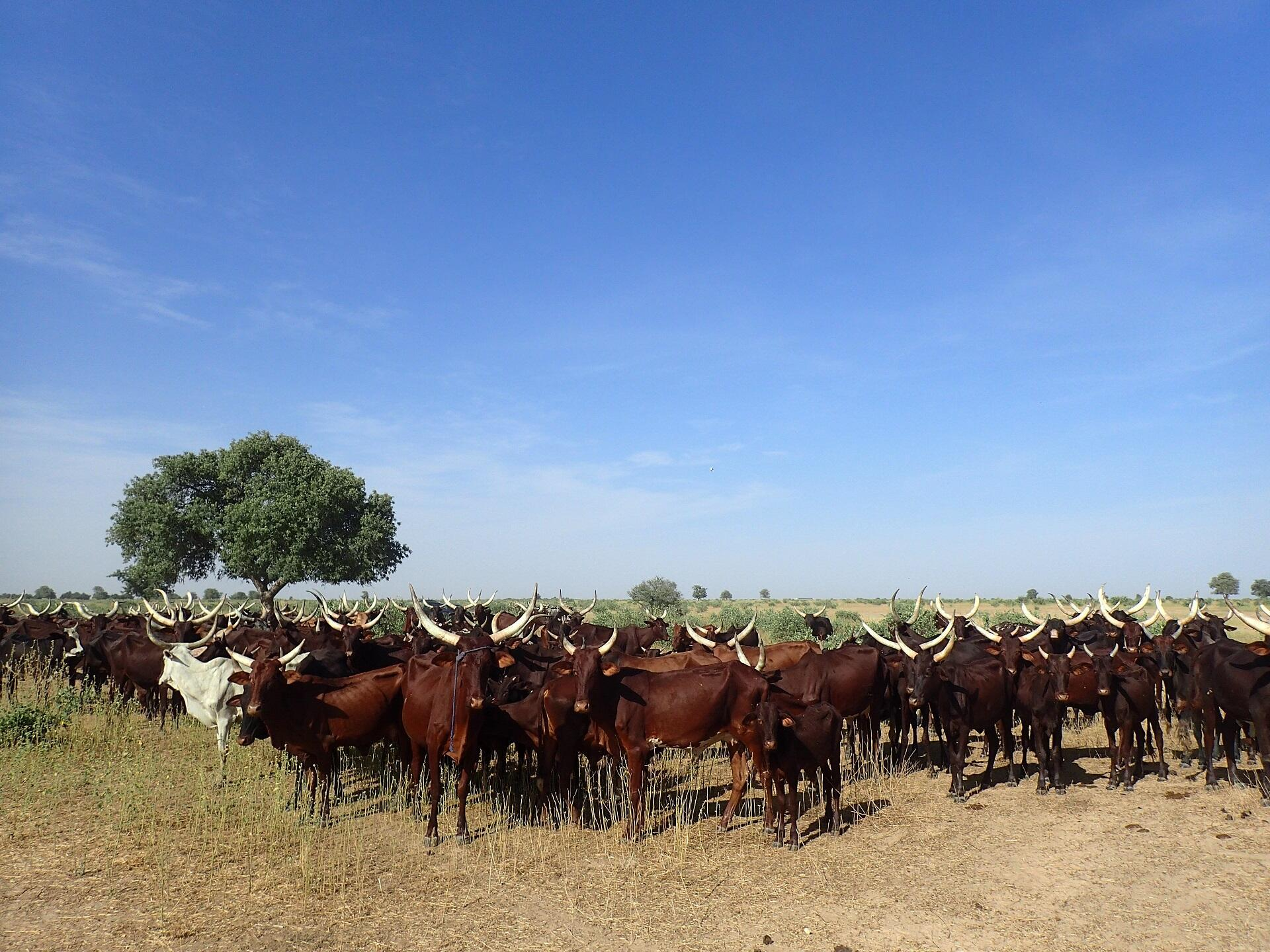 Le troupeau en transhumance