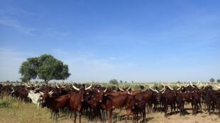 Un troupeau en transhumance.