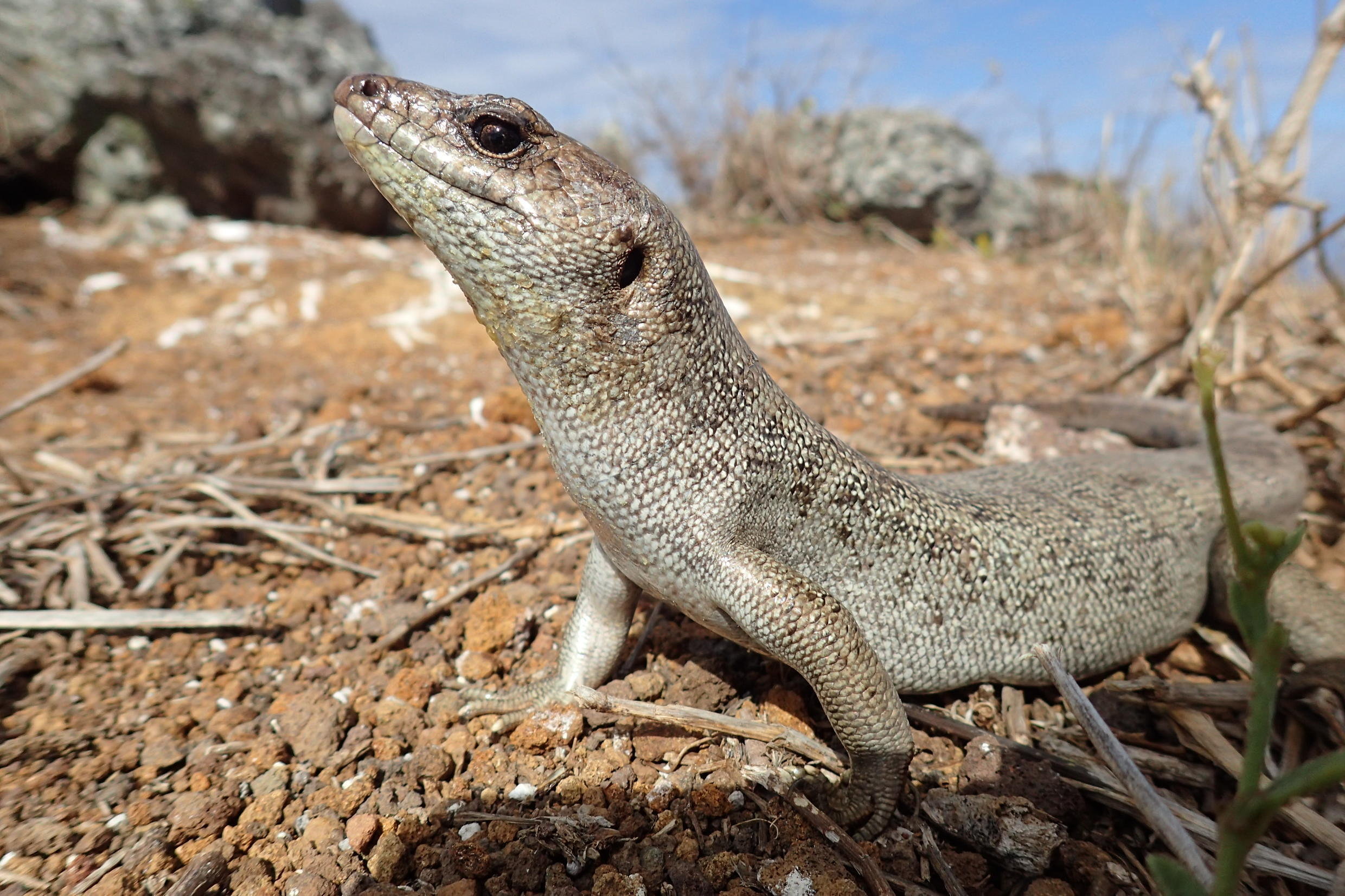 Telfair's skink, which used to be found only on Round Island, was reintroduced to Ile aux Aigrettes between 2006 and 2010.