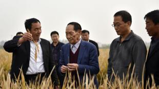 这张照片摄于2017年10月15日,袁隆平(中)站在中国北方河北省邯郸的杂交稻田中。他于2021年5月22日星期六在长沙市一家医院去世。