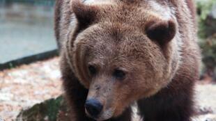 Чтобы возродить популяцию пиренейских медведей, Франция с середины 90-х годов прошлого века импортирует медведей из Словении