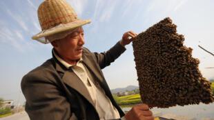 La Chine est devenue le premier exportateur mondial de miel, avec près de 145 000 tonnes rapporte la revue Public Ledger.