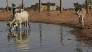 Un élevage de vaches au Sénégal. (Image d'illustration).
