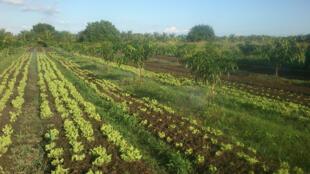 Plantação de hortaliças orgânicas na Paraíba.