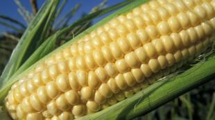 Les agriculteurs américains comptent augmenter en 2011 l'étendue des semis de maïs de 5%.