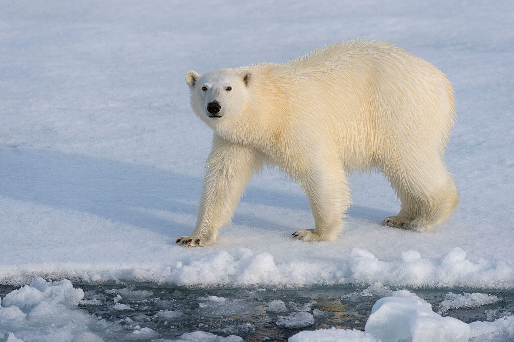 A polar bear on pack ice in the north of Svalbard, Norway.