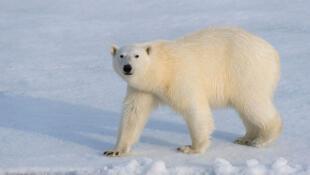 Ours polaire sur la banquise au nord de Svalbard, en Norvège.