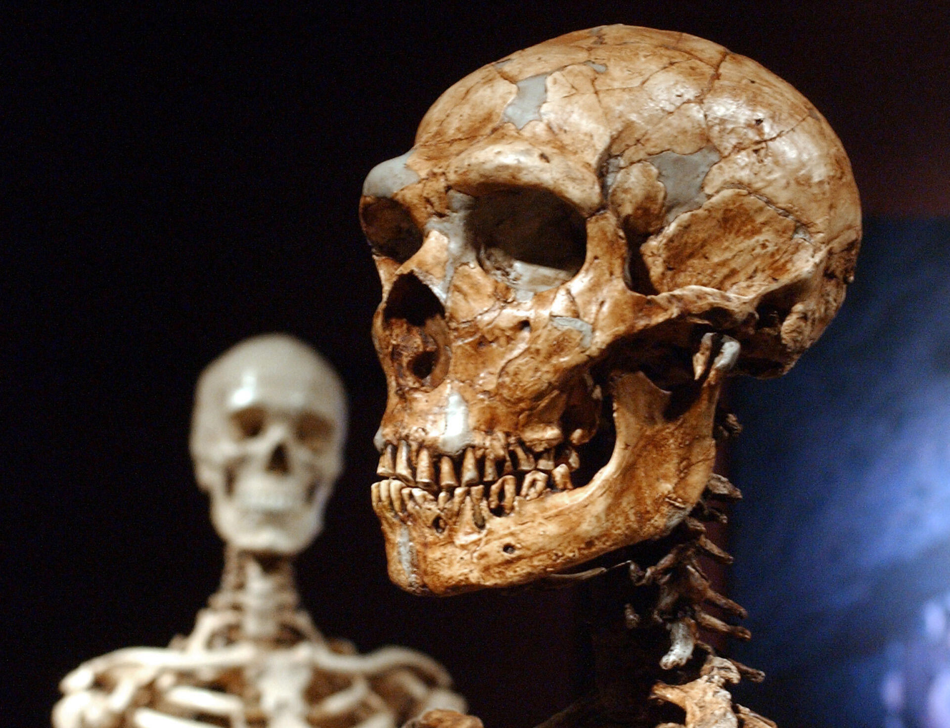 This Jan. 8, 2003 file photo shows a reconstructed Neanderthal skeleton, right, and a modern human version of a skeleton, left, on display at the Museum of Natural History in New York.  Humans and Neanderthals may have coexisted in Europe for more than 5,000 years, providing ample time for the two species to meet and mix, according to new research. Using new carbon dating techniques and mathematical models, the researchers examined about 200 samples found at 40 sites from Spain to Russia.