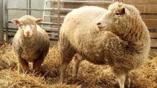 Dolly (D) en su granja de Edimburgo. Sufrió envejecimiento precoz y fue sacrificada en 2003.