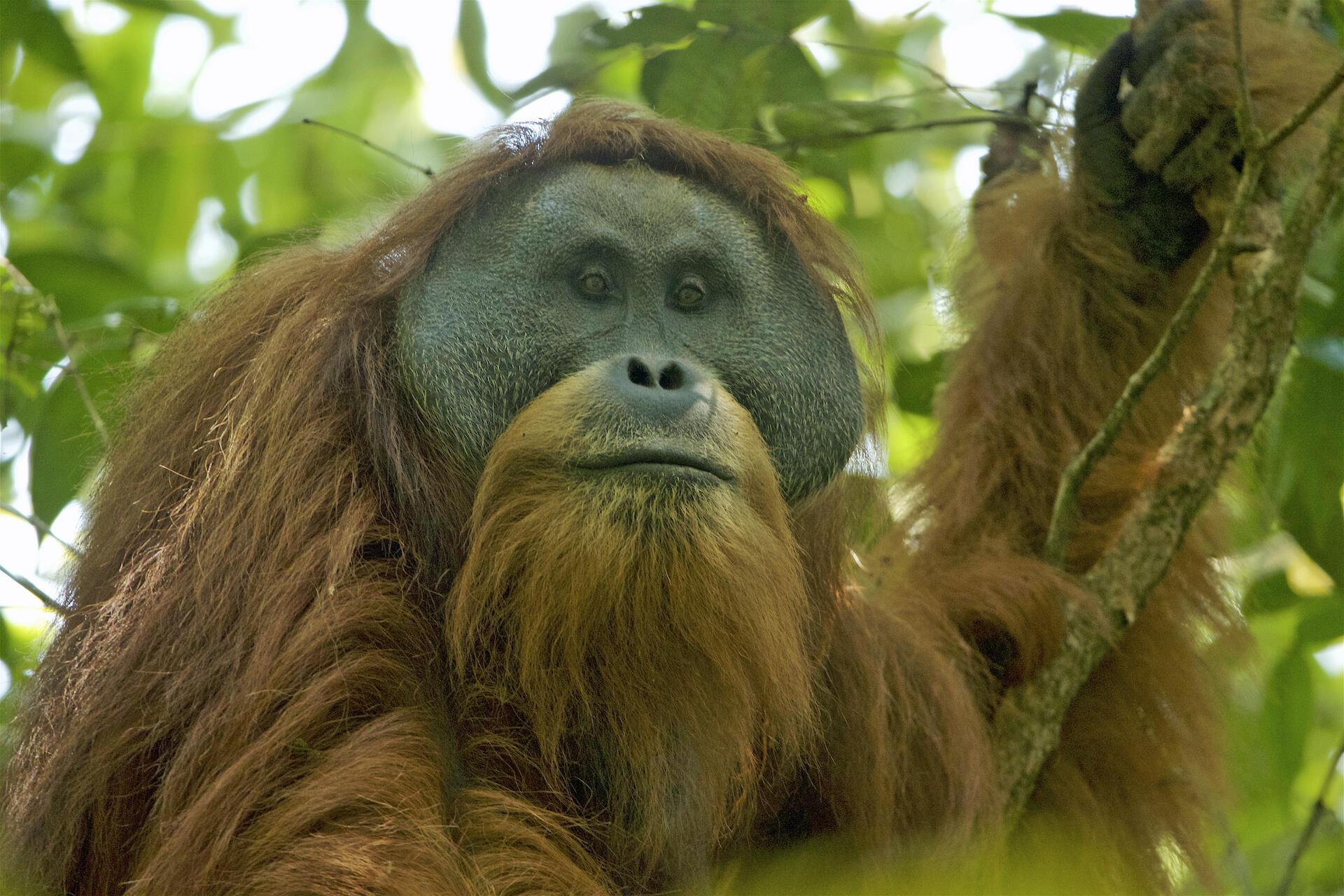 印尼蘇門達臘島北部熱帶雨林的珍稀動物打巴奴里猩猩的生存受到一個中國投資的大壩計畫的威脅,2018年10月。圖為成年雄猩猩 。