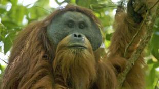 印尼苏门达腊岛北部热带雨林的珍稀动物打巴奴里猩猩的生存受到一个中国投资的大坝计划的威胁,2018年10月。图为成年雄猩猩 。