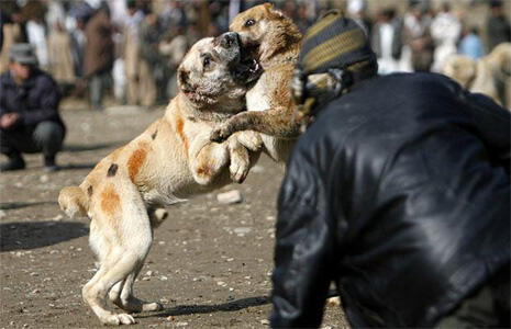 Dog fighting is popular in southern Afghanistan, but has been banned by the Taliban for being un-Islamic.
