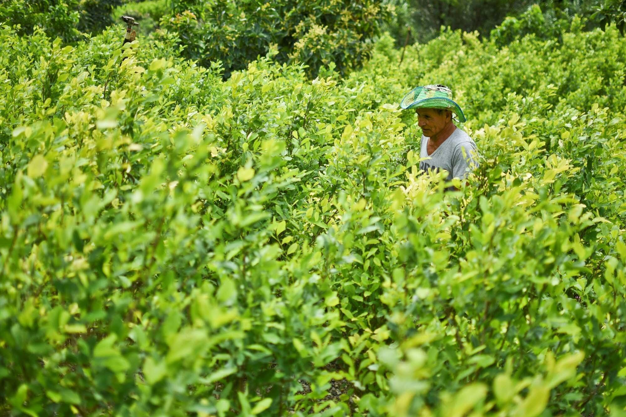 Un productor de coca trabaja en su campo en una zona rural de Policarpa, departamento de Narino, Colombia, el 15 de enero de 2017.