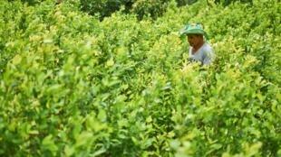 Un producteur de coca travaille dans son champ. La Colombie est le premier producteur mondial de cocaïne.