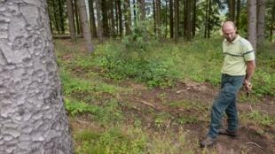 Pierre Lambert, officier de l'Office national des forêts (ONF), examine la végétation d'une forêt d'épicéas le 18 août 2020 à Ban-Sur-Meurthe-Clefcy dans le nord-est de la France.