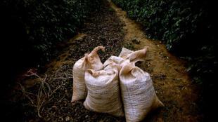 Lavoura de café do sudeste brasileiro.