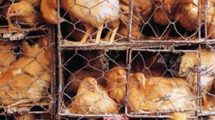 Kể từ 01/01/2012, dân Liên Hiệp Châu Âu không còn được quyền để gà đẻ trứng ở trong tình trạng chen chúc như thế này nữa.