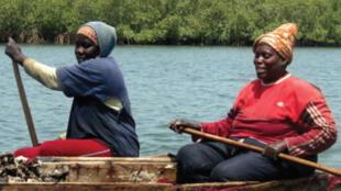 Les ramasseuses collectent les huîtres les plus matures, ces femmes ont appris à prendre soin de cet écosystème qui leur permet de vivre, elles sont devenues les «gardienne de la mangrove».