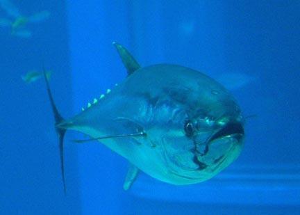 红金枪鱼 (Linnaeus, 1758)