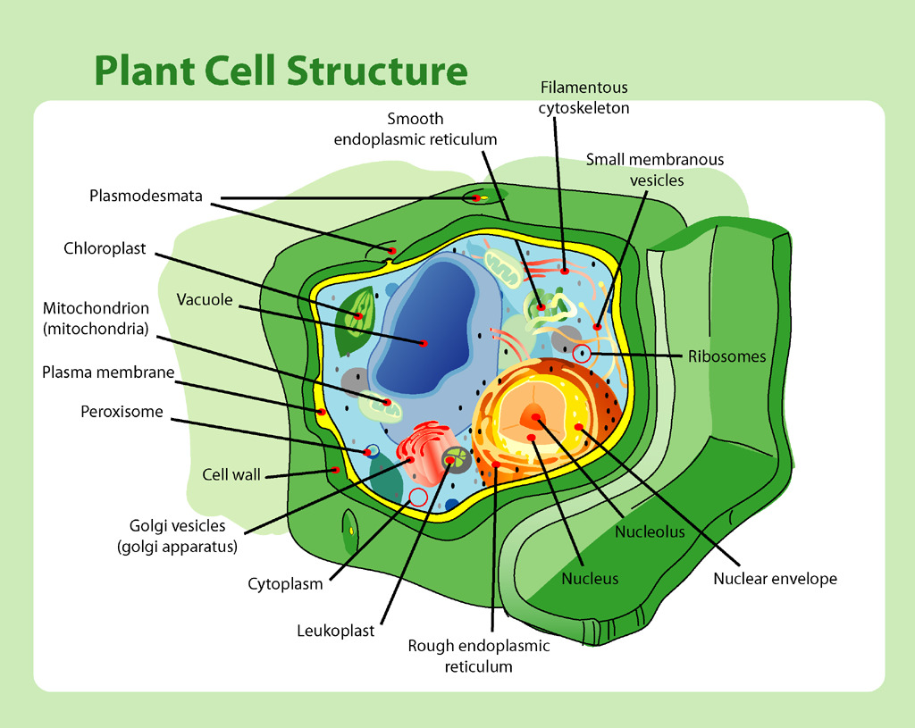 Structure of plant cell, cellulose makes up the cell wall