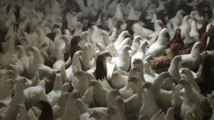 Elevage de poules.