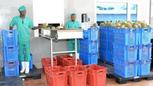 Des ananas bruts à l'usine de «Jus Délice», près de Lomé.