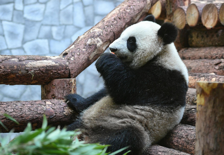Панды занимают особое место в дипломатии Пекина