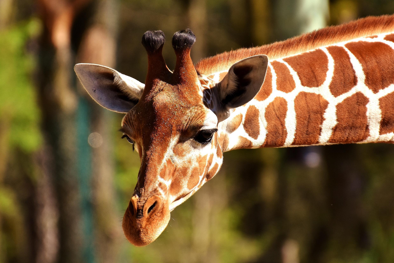 Pour Gilbert Bœuf : «On a tué la moitié des éléphants en quarante ans, la moitié des lions et, selon les pays africains, entre 50 % et 90 % des girafes.»