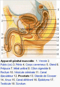 Aparelho reprodutivo masculino.