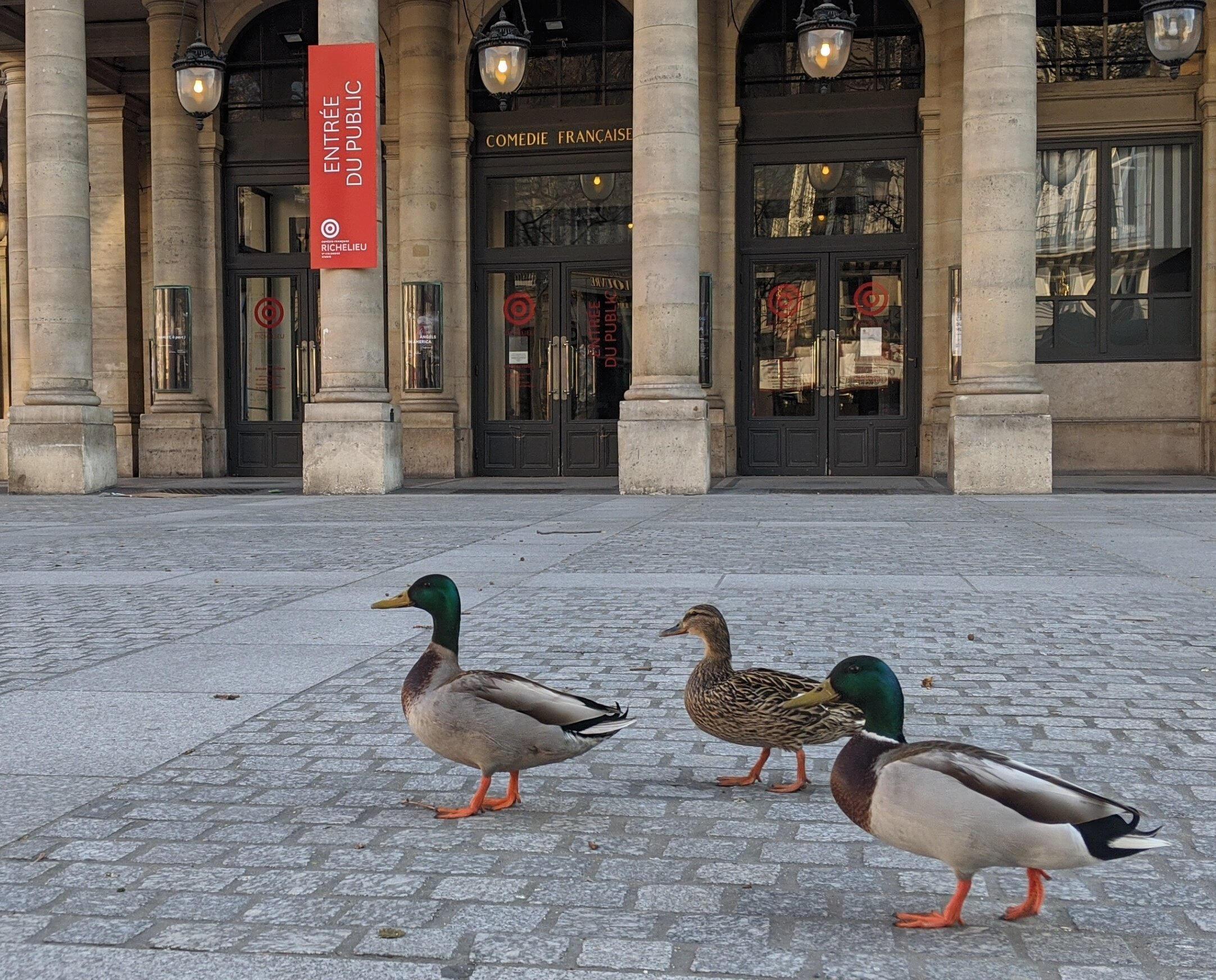 Утки на площади перед Комеди-Франсез