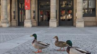 Des canards se baladent dans les rues de Paris, vides, lors du confinement. Ce sont les émissions des transports qui ont le plus baissé.