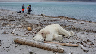 Белый медведь напал на сотрудника круизной компании и был застрелен в целях самообороны