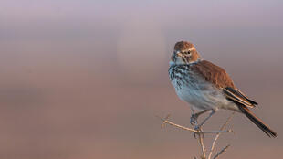 The Red Lark is named for its reddish-brown plumage.