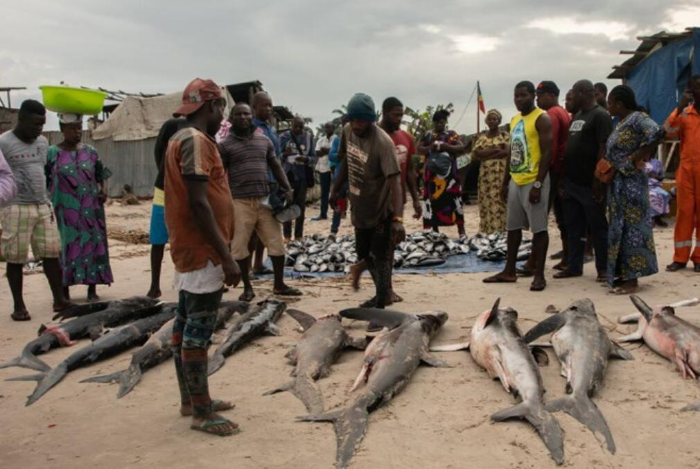 A shark catch landed on a beach in Congo Brazzaville.