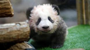 """法国博瓦尔动物园四个月大的熊猫幼仔起名""""圆梦""""。"""