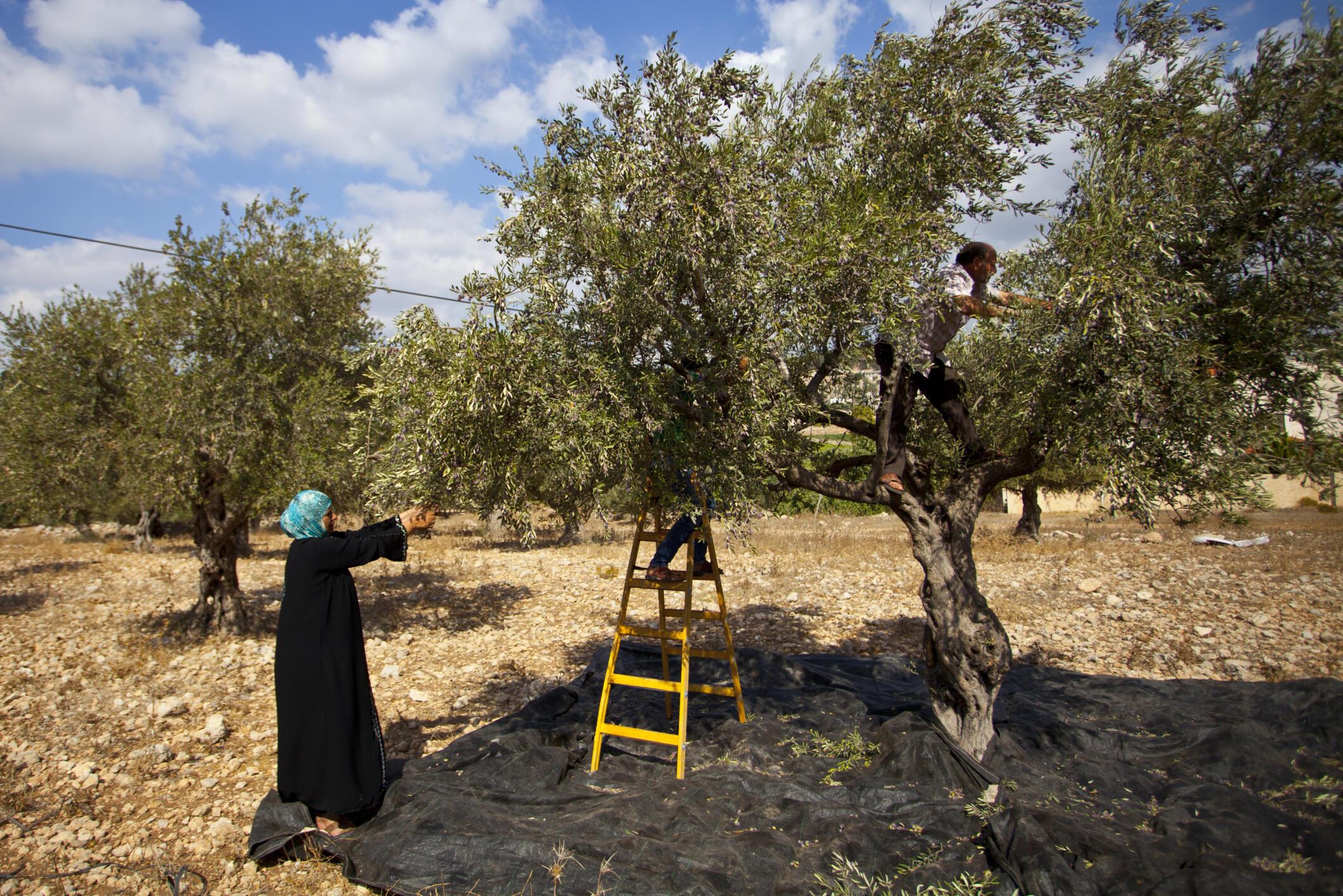 Récolte d'olives à Jenine, dans les Territoires palestiniens (image d'illustration).