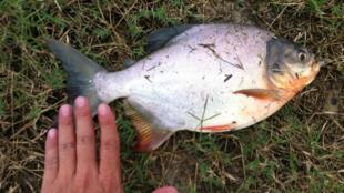Os pescadores encontraram um Pacu no rio Sena