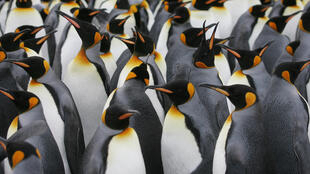 Emperor penguins are acutely vulnerable to climate change