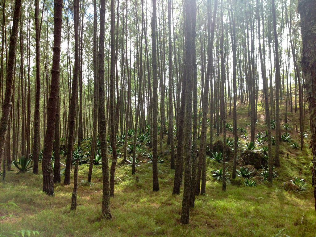 A pine forest in La Visite National Park, one of the last forests in Haiti.