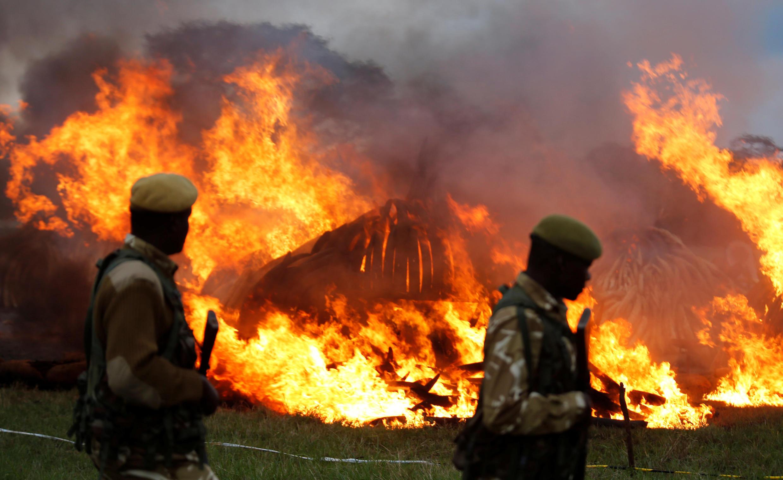 Quênia destroi 105 toneladas de marfim para lutar contra massacre de elefantes.