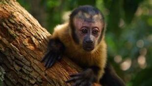 """Um macaco-prego é o herói do filme """"Amazônia"""", que estreou na França."""