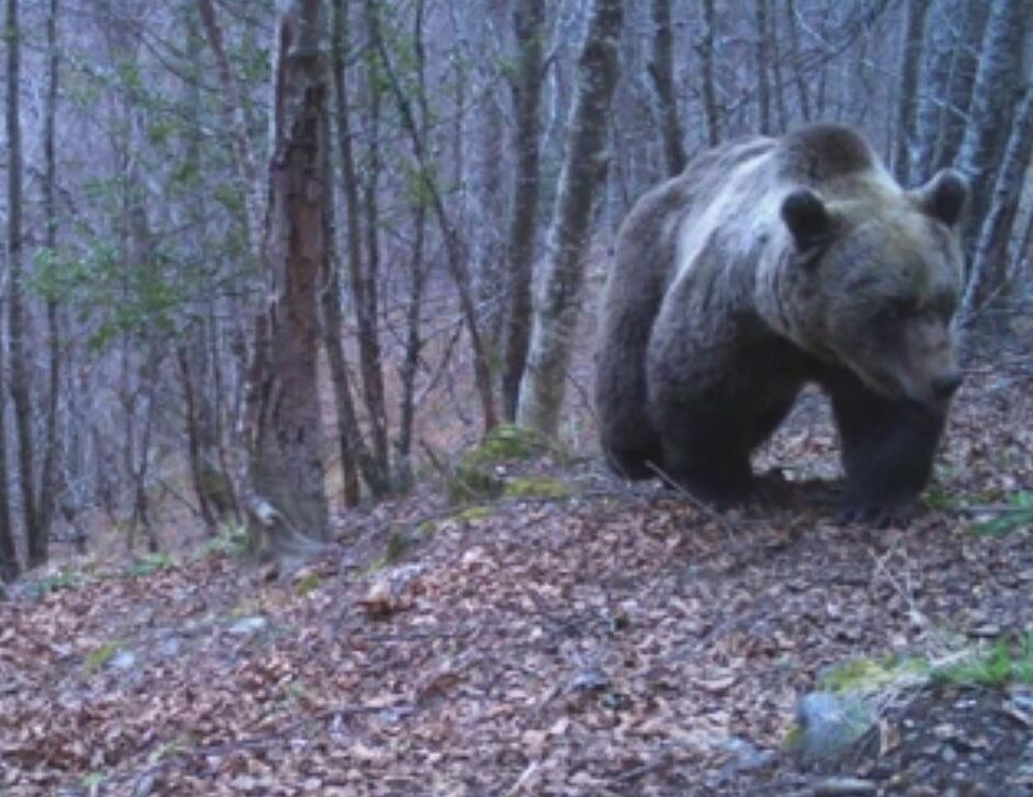 Automatic cameras operated by France's national office for hunting and wildlife captured this image of brown bear near the Pyrénées mountain community of Bordes-Uchentein in the French department of Ariège, 28 March 2019.