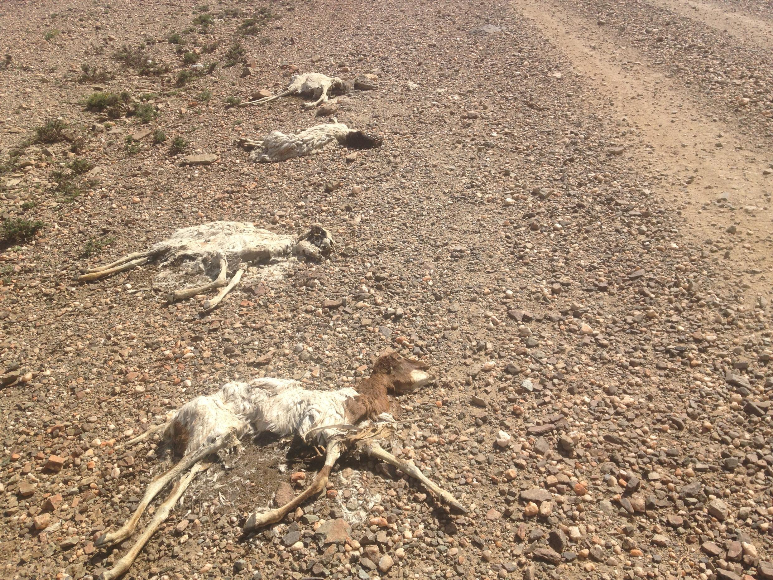 A dead mother goat and her three kids by the side of the road, Awdal region, Somaliland