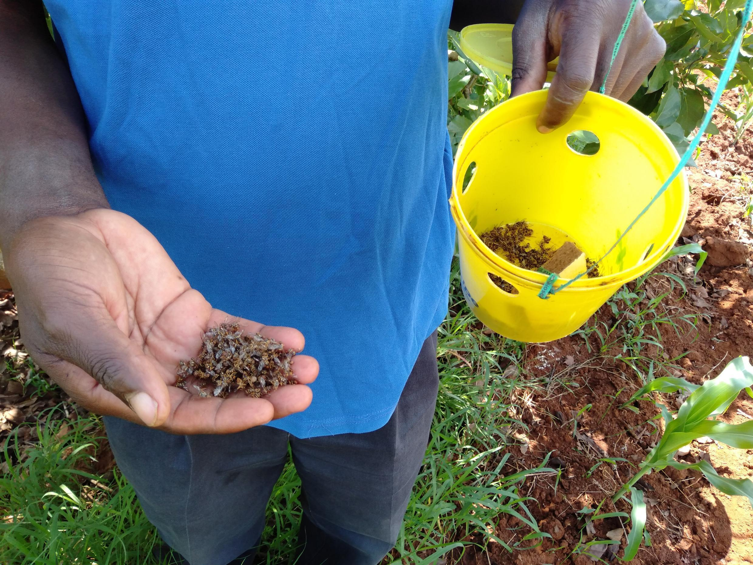 Kenyan farmer Samuel Mbithi literally gives a helping hand to the few bees who come to pollinate his crops.