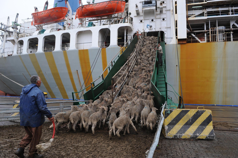 Des centaines de moutons embarqués sur le port de Montevideo, en Uruguay.