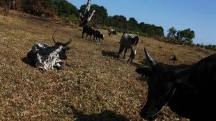 Bétail dans la région de l'Anosy, au sud de Madagascar.