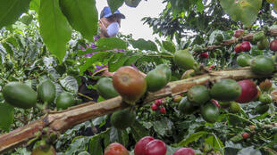 Cultivo de café en el municipio de La Tebaida, en el departamento de Quindio, en Colombia, el 21 de mayo de 2020