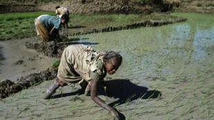 Rizière à Madagascar.